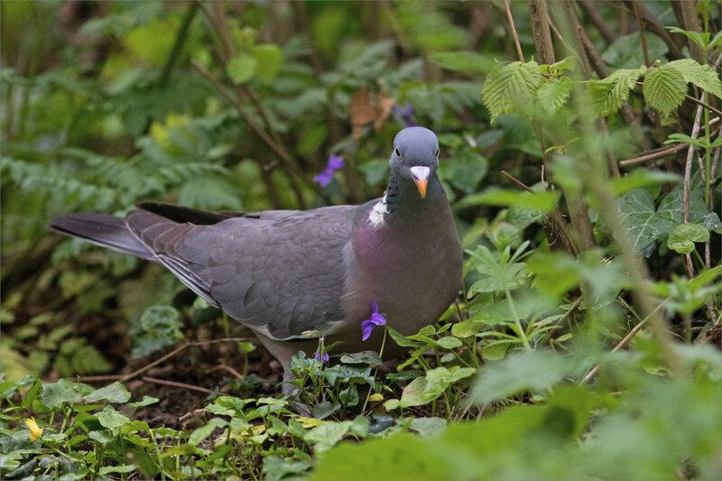 Chemin oiseau pigeon ramier 060420 7 ym violettes