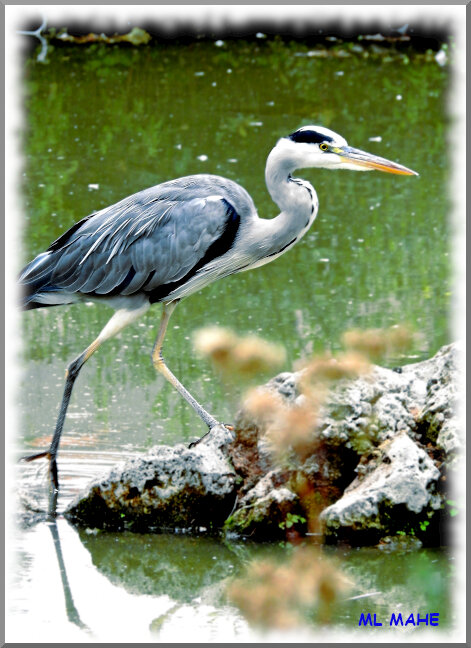HERON PHOTO ML MAHE