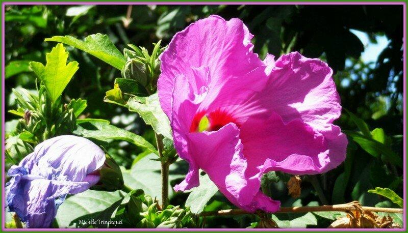 Althéas roses 0807152