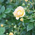 Roses du jardin fin Mai 2009 (121)