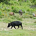 028 Cochon Corse