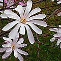Magnolia étoilé 1903165