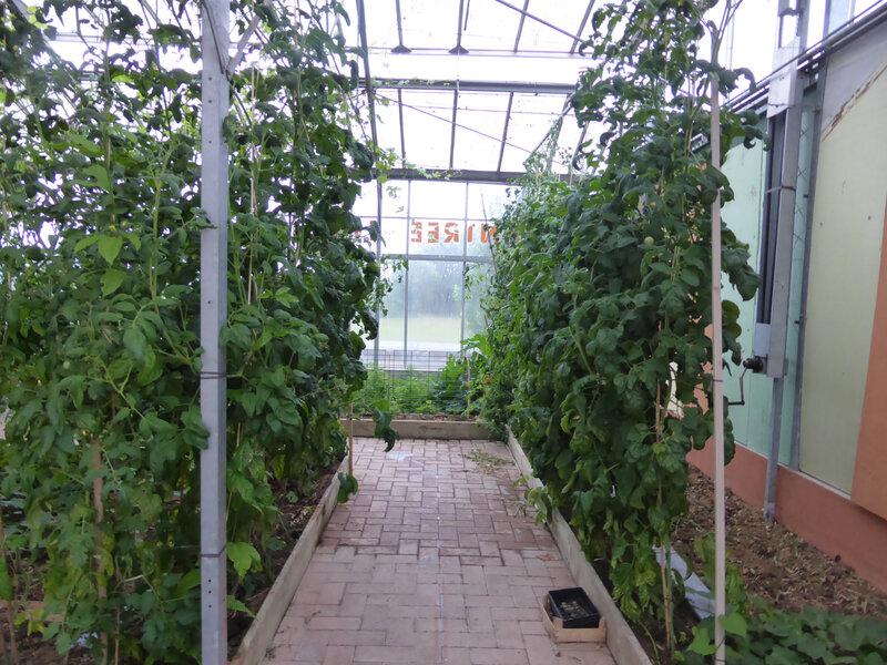 9-serre, tomates (3)