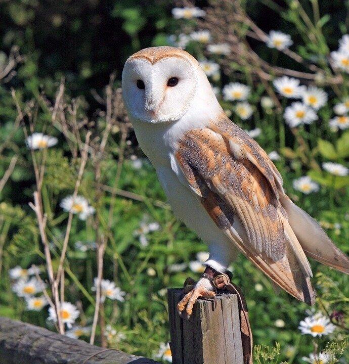 barn-owl-275942_960_720