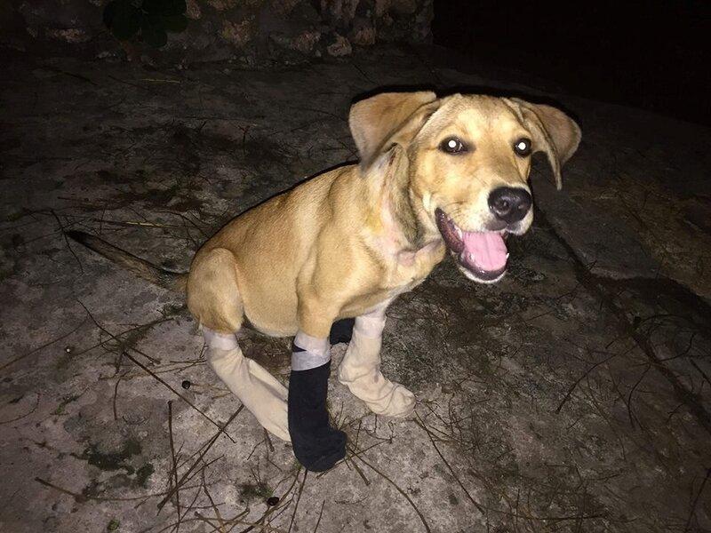 Sirius et Hope 4 - Hope avec ses chaussettes pour éviter qu'elle se gratte