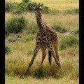 Girafe 2FE
