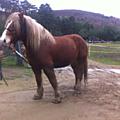 2 chevaux trait bretons à vendre - drôme