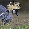 Grue couronnée - zoo de labenne