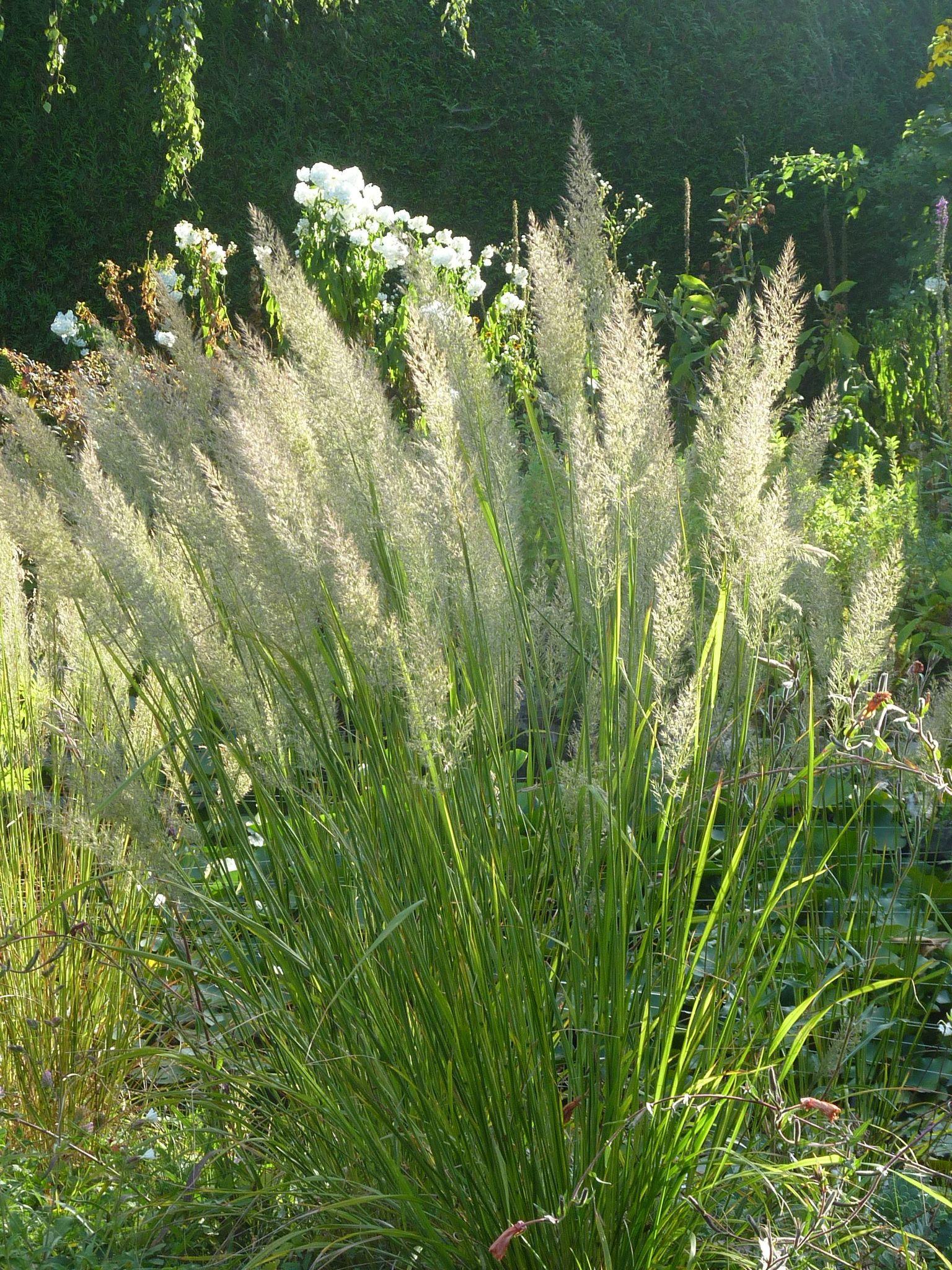 Les Plus Belles Graminées herbe aux diamants - le jardin par passion