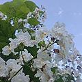 Fleurs de catalpa...