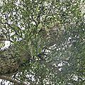 Parasite du tamarin des hauts