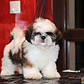 c_b_a_CHIEN_CHIOT_ SHIH TZU_A_VENDRE_A_ADOPTER_PARTICULIER__ELEVAGE_ELEVEUR_11_34_30_aude_narbonne_ HERAULT_GARD_MONTPELLIER_ NIMES_LUNEL_NEWS_PRESS_CARD_2019_2020_