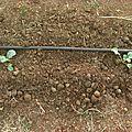 Plantes de brocolis