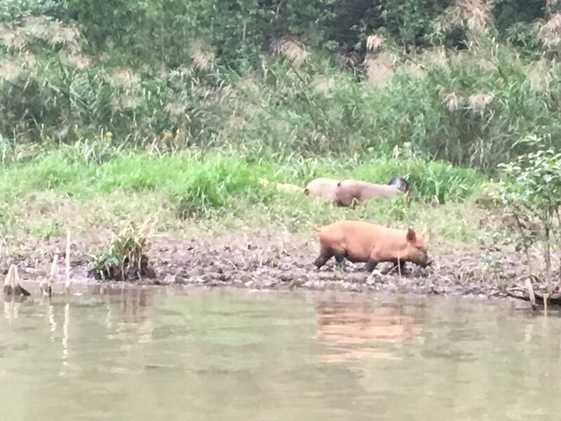 une famille de cochons sur les rives du fleuve