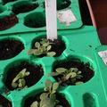 2009 04 22 Jeunes plants de pétunia