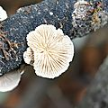 Schizophyllum commune (1)