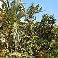 2010-11-28, Un oranger près de Lamalou les Bains (Hérault)