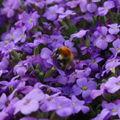 2009 05 06 Une abeille sur mes fleurs d'aubriètes