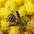 Mouche Anomoia purmunda • Famille des Tephritidae