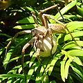 pisaure (pisaura mirabilis) avec son cocon