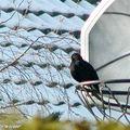 Ce merle a choisi le panier de basket comme observatoire