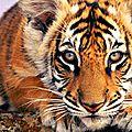 tigre664218912_n
