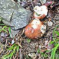 Russula mustelina (3)