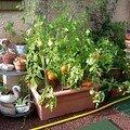 Cultivons des tomates en pots ou en carre potager