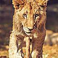 lion lionceauVI1szrg39o1_1280