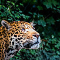 leopard beauval5