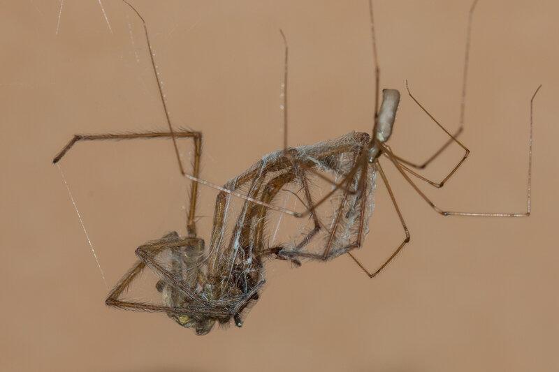 capture d'une araignée par un pholque