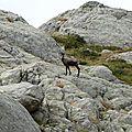 Vallée des Merveilles, chamois (06)