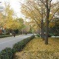 Ginkgo à l'université de Pékin (2)
