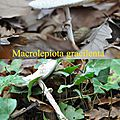 Macrolepiota gracilenta