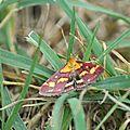Pyrausta purpuralis (Linnaeus, 1758) Pyrale pourpre