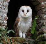 Chouette-effraie (association oiseaux nature)