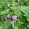 Mauve officinale (Malva sylvestris).