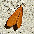 Manteau jaune •Eilema sororcula • Famille des Arctiidae