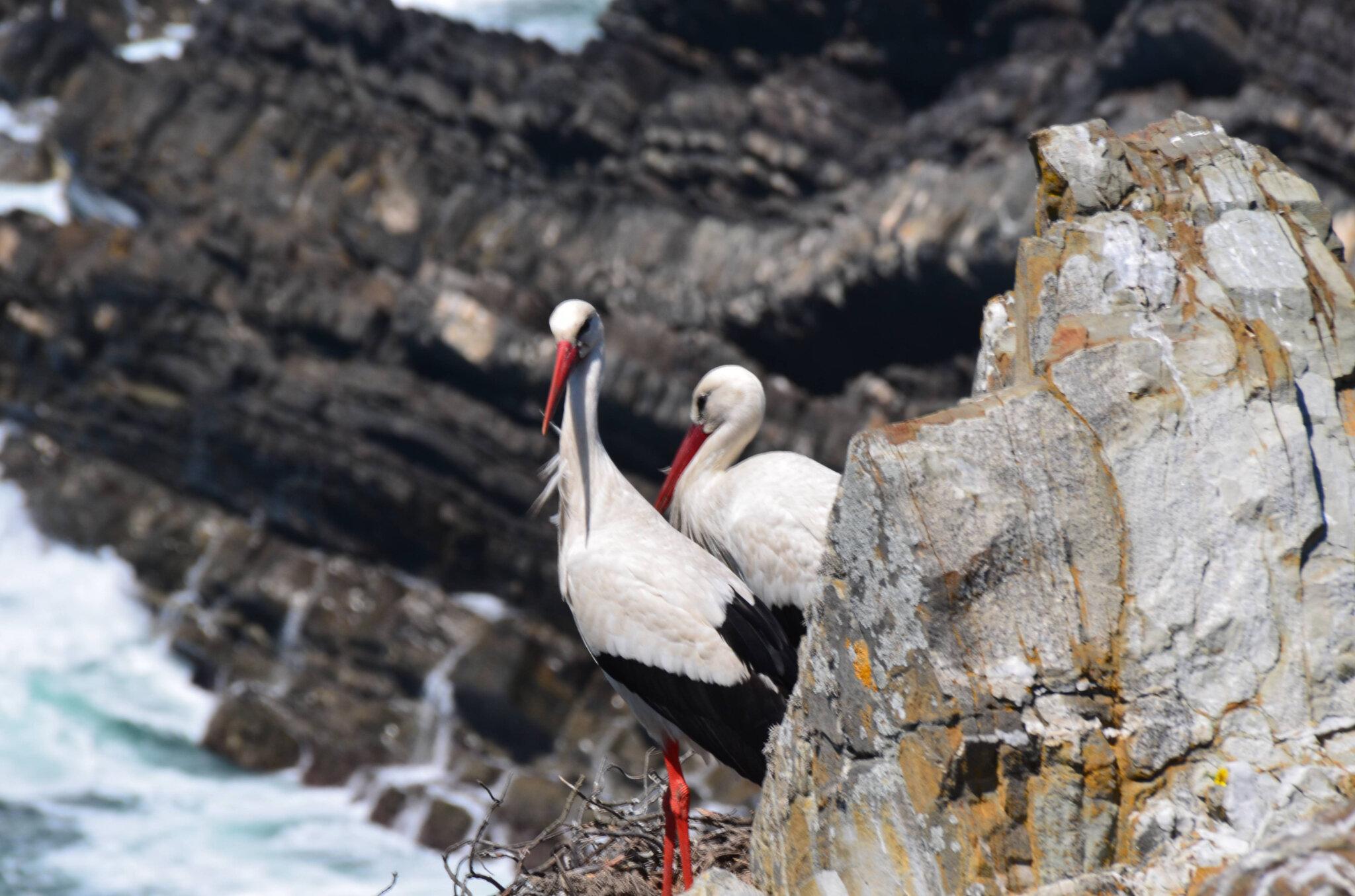 Le Cap Sardao et ses cigognes