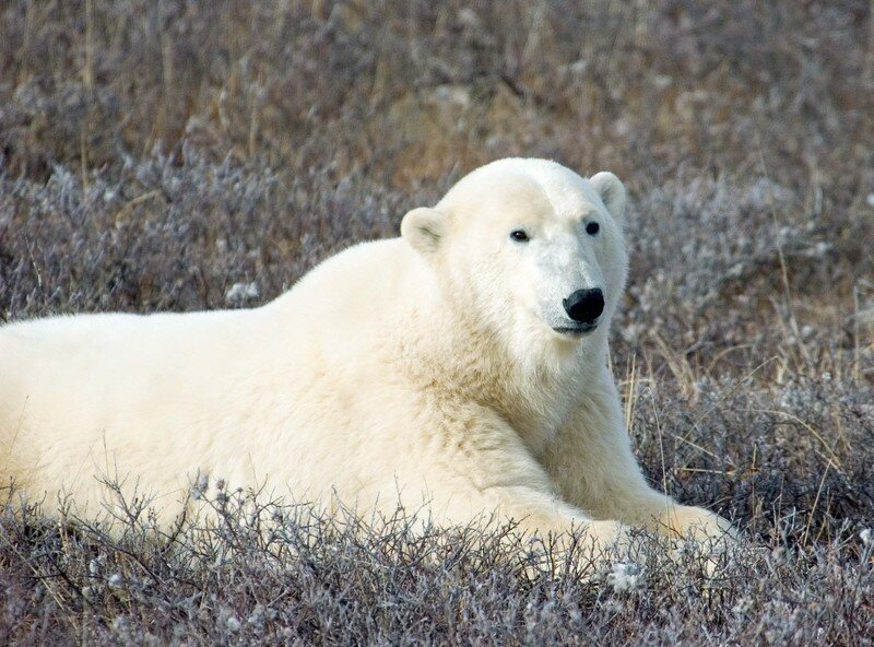Canada - Churchill ours blanc triste