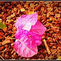 Pp52/theme 43:rose