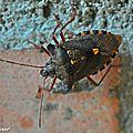 Punaise à pattes rousses • Pentatoma rufipes • Pentatomidae