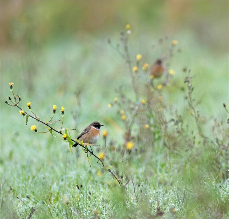 Niort oiseau tarier patre 6 161220