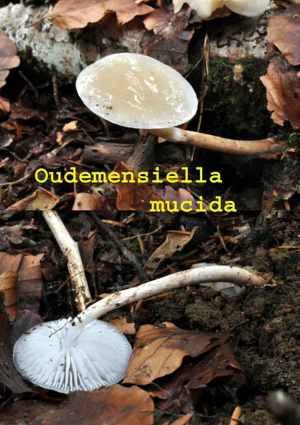 Oudemensiella mucida