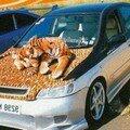 Mais non, le tigre est en peluche !!!
