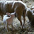 Mamie éliane et ses moutons, blancs et marrons, et ron et ron petit patapon !