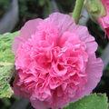 Rose trémière