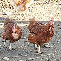 Adaptation de nos nouvelles poulettes !