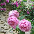 Rose ancienne : 'Mme Caroline Testout'