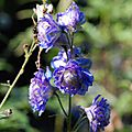 Delphinium 'sweet sensation'